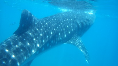 CEBU Oslob Requins Baleines
